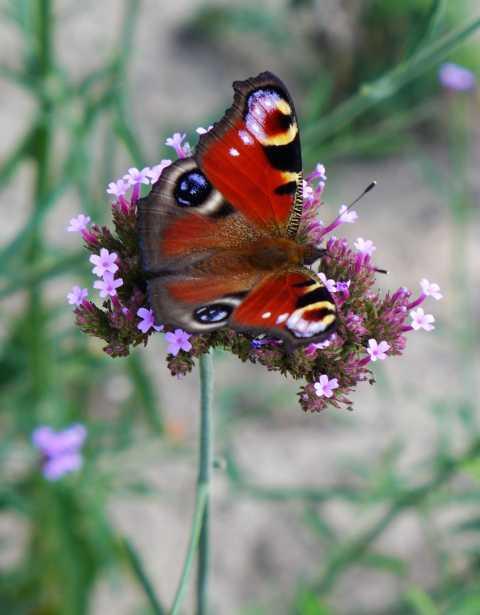 während des Sommers enttäuschend wenige Schmetterlinge, kann man zurzeit ungewöhnlich viele beobachten, vornehmlich Tagpfauenauge, Admiral(Tagpfauenauge / Foto HeHei)