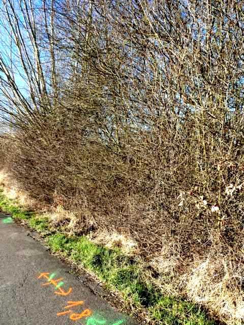 vor Jahren gepflanzte Schlehen-, Weißdorn, Holundersträuchen erdrücken mittlerweile sdie Kopfweidenbestände