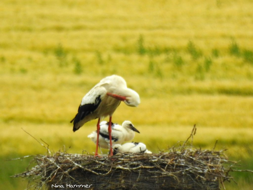 Storch 3