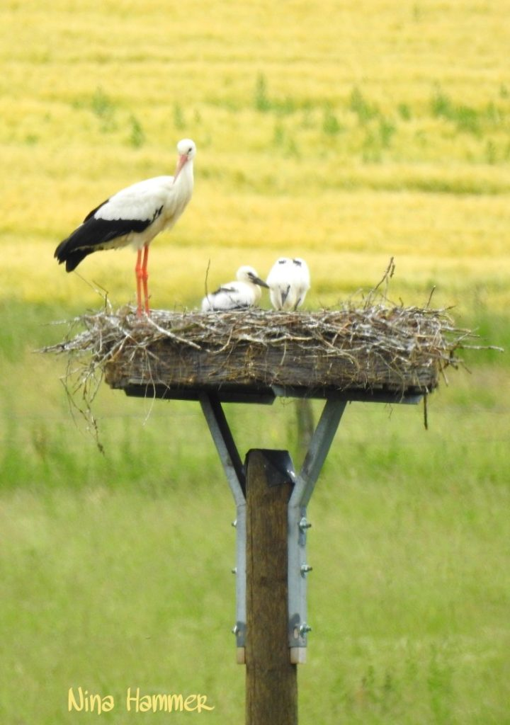 Storch 5