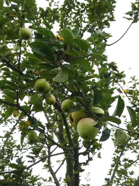 dass in der Tat nur ganz wenige Apfelbäume die Minusgrade überstanden haben, die Ernte sehr überschaubar, d.h. an eine Obstversaftung wie im Vorjahtr war nicht zu denken!