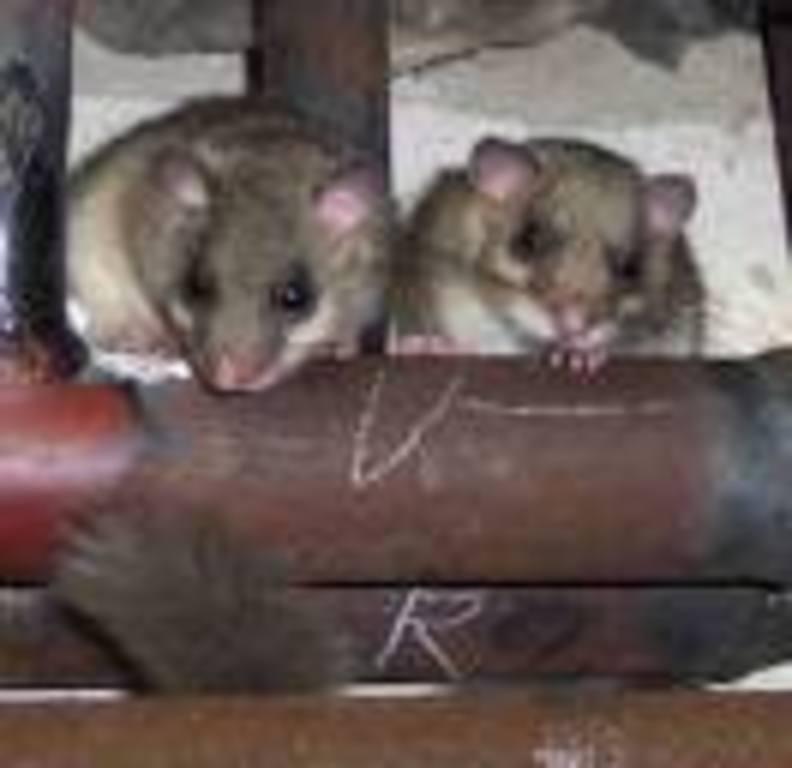 Zwei kleine Siebenschläfer. Sind sie nicht süß!! Quelle: www.altenburg.nabu-thueringen.de