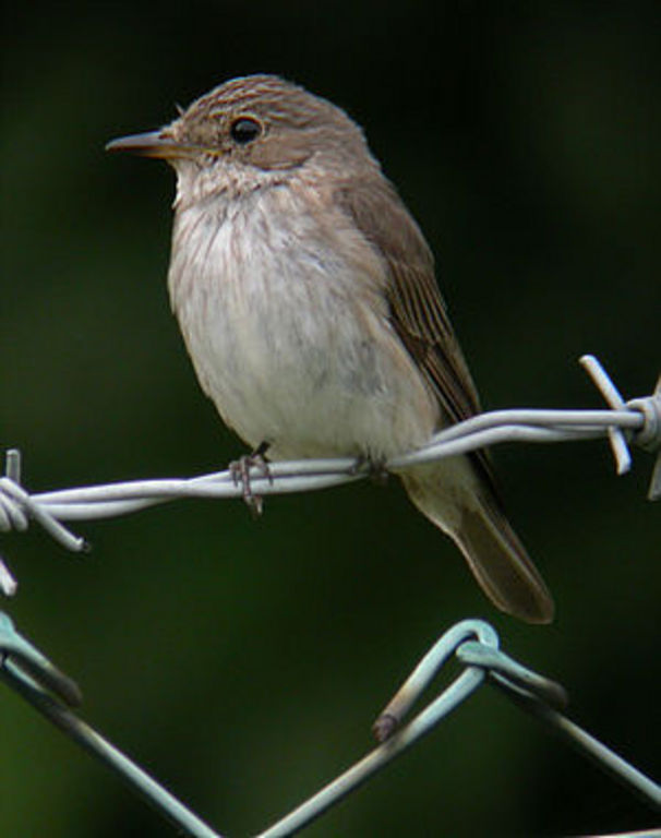 -normalerweise ein Sommervogel, der in Afrika überwintert-