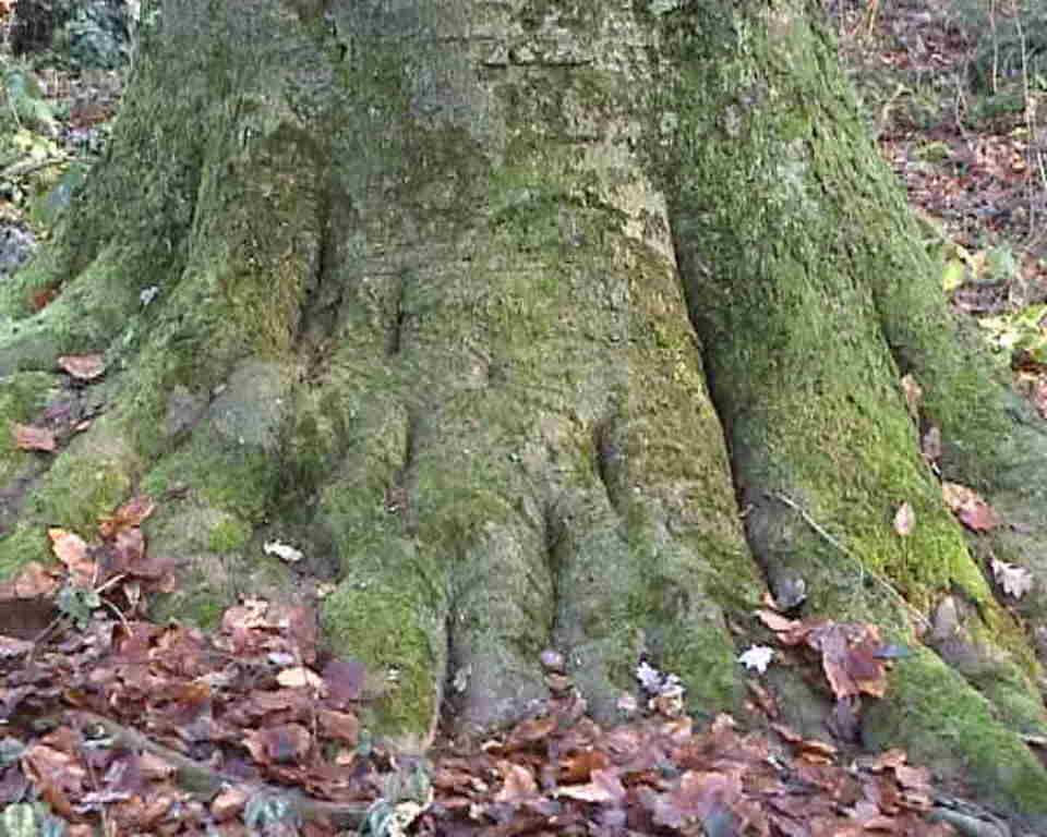 Ein stattlicher Baum, der sich gut verwurzeln konnte!