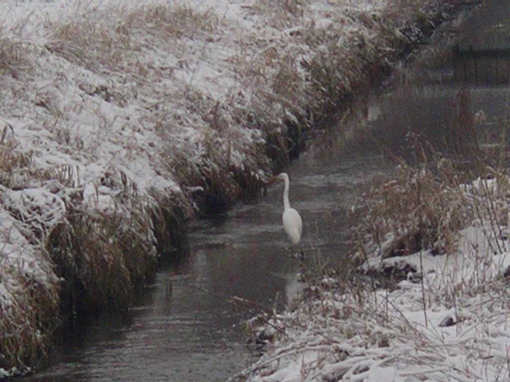 """Hunger lässt die Vögel ihre angestammte Fluchtdistanz vergessen: dieser Silberreiher flog erst bei etwa 12 m ab, Graureiher oder Wasserralle """"beachtete"""" den Vorbeigehenden fast gar nicht!"""