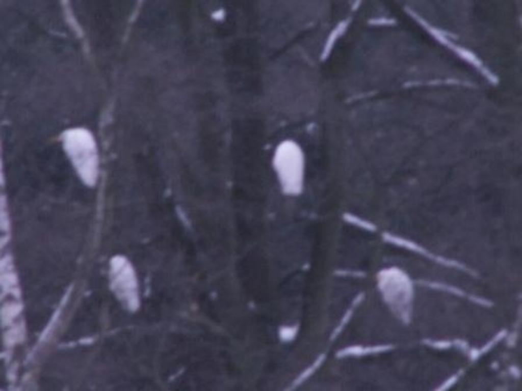 nicht zu glauben, aber hier im Bild dokumentiert: 4 Gespenster auf ihrem Schlafbaum, ein 5. kreiste noch darüber einen  geeigneten Ast suchend