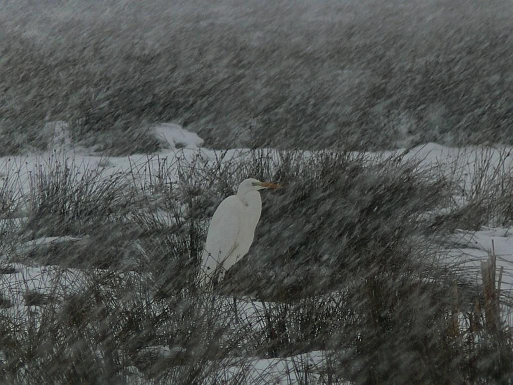 Silberreiher - in Wartestellung, dass sich doch vielleicht eine Maus aus der Schneedecke heraustraut !?