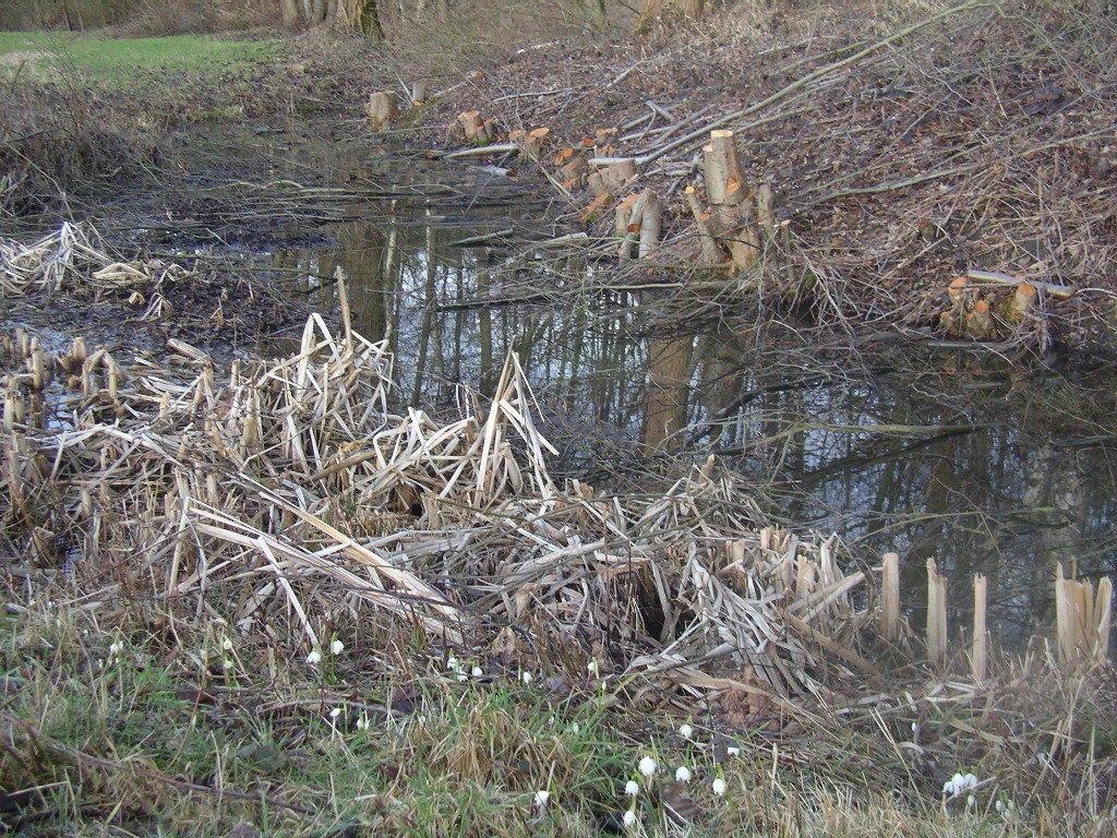 """Neben Wallhecken oder Knicks wurde die Fähigkeit von Sträuchern und Bäumen zum Stockausschlag auch bei dieser wasserbegleitenden Erlentreihe genutzt (Nebeneffekt, dass die Südhangböschung wieder voll besonnt werden kann). """"Auf-den-Stock-setzen"""" hat auch zum Ziel, dass solche Hecken mit der Zeit im unteren Bereich nicht verkahlen. (Im Vordergrund 1. Märzbecher (Frühlingsknotenblumen) an einem vom NABU RSK renaturierten Rodebachaltarm)."""
