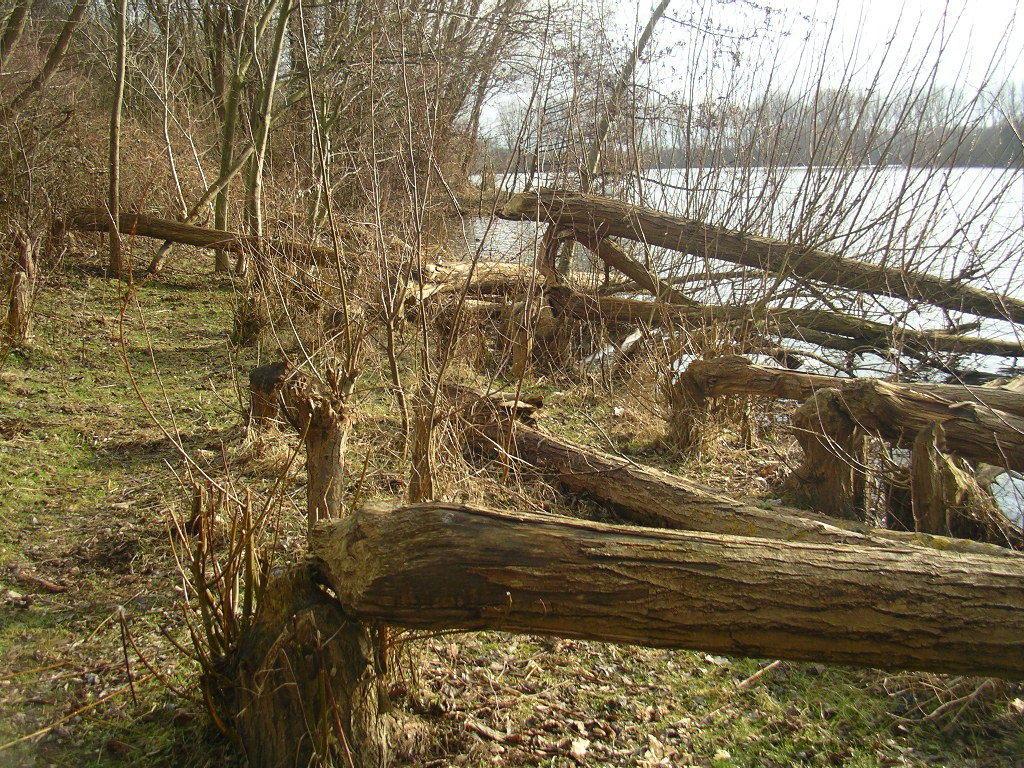 """Biber könn(t)en in der Tat der drohenden Verbuschung im """"Natuur- u. Landschaftspark Rodebach/Rode Beek"""" entgegenwirken!"""