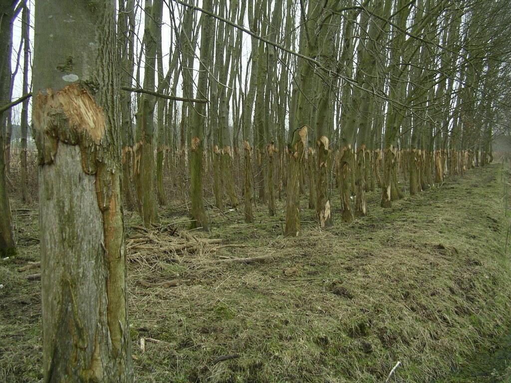 zumindest im Herbst-Winter-Halbjahr erscheint die Anzahl der Hochlandrinder zu groß für die vorhandene Fläche