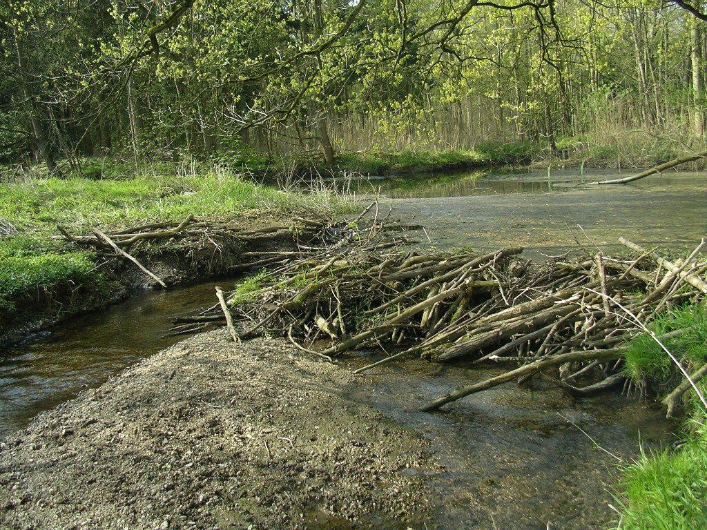 "An insgesamt 3 Stellen war der Wasserstand durch die berühmten Biberdämme ""geregelt"""