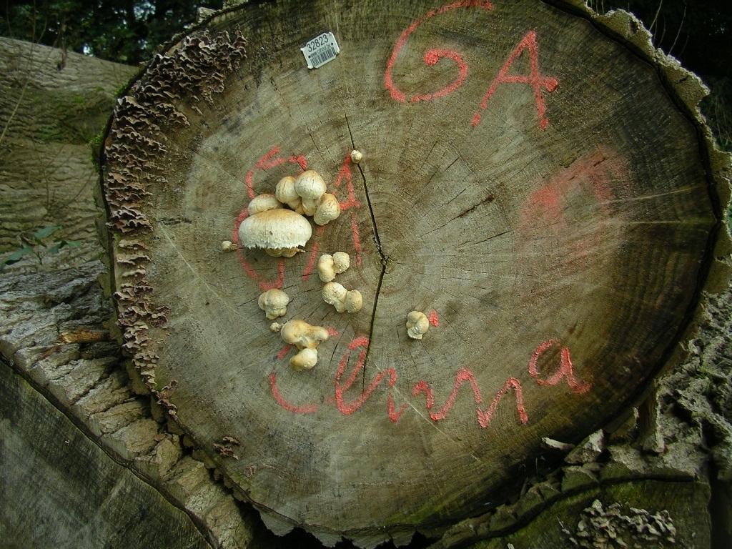 Pappelholz aus Mindergangelter Beständen für den chinesischen Holzmarkt - kein Scherz ...