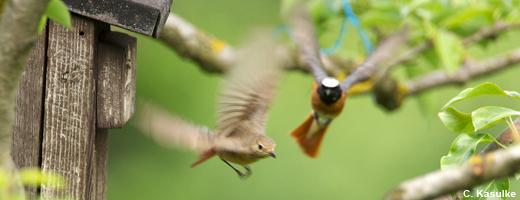 Das Weibchen baut innerhalb von 3 - 4 Tagen das Nest aus trockenen Halmen, Blättern, Moos, polstert es mit Federn aus. Die Hauptbrutzeit ist im Mai bis Juli, Geleggröße ca. 5 - 7 Eier, Brutdauer 14 Tage, 1 - 2 Jahresbruten, die Jungen schlüpfen nach etwa 2 Wochen, sie werden von beiden Elternteilen rd. 30 - 50 mal am Tag mit Insekten, Spinnen, Käfern, Hautflüglern allgemein gefüttert.