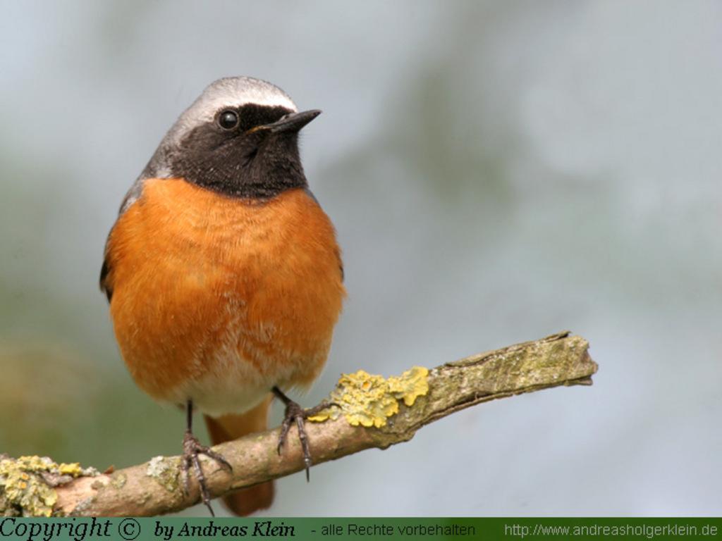 Für 2011 ist der Gartenrotschwanz (Phoenicurus phoenicurus) zum Vogel des Jahres 2011 bestimmt worden.