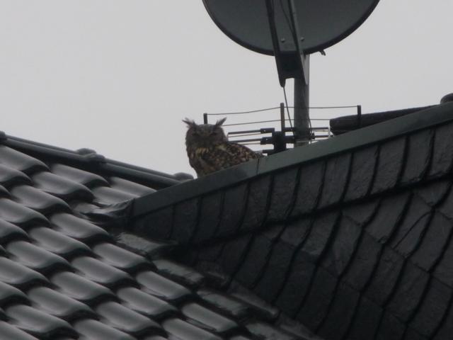 Uhu auf einem Dach in Gangelt-Langbroich (Foto: Th. Henkens)