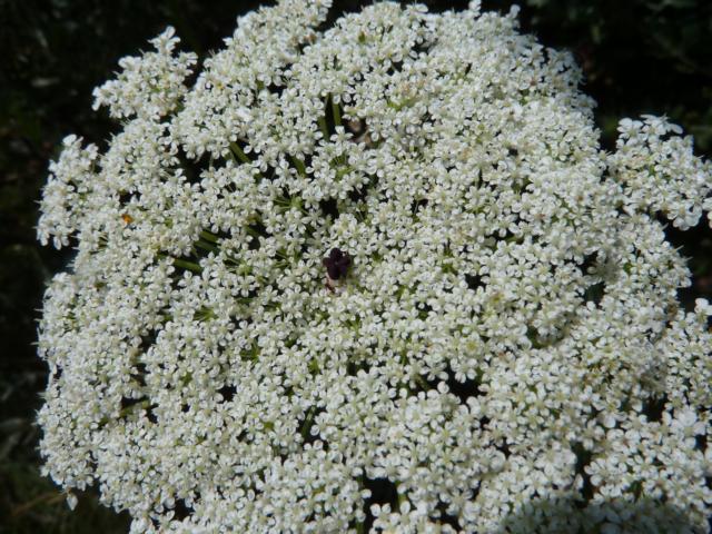 """die Lösung: Im zur Blütezeit flach gewölbten Blütensrand findet man in der Mitte zumeist die sog. tief purpurn bis fast schwarz gefärbte """"Mohrenblüte"""". schwarz"""