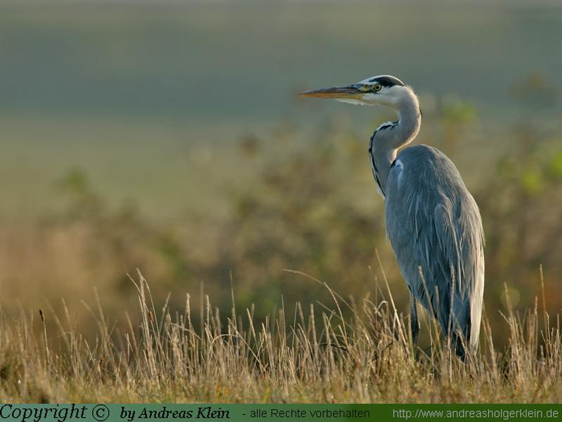 Graureiher (Ardea-cinaria) - immer noch auch Fischreiher genannt- ist eine Vogelart aus der Ordnung der Schreitvögel (Ciconiiformes). Mit eionet Körperlänge von 90 - 98 cm ist er fast storchengroß; gewicht: ca. 1 - 2 kg, Flügelspannweite ca. 1,75 - 1,95 m.