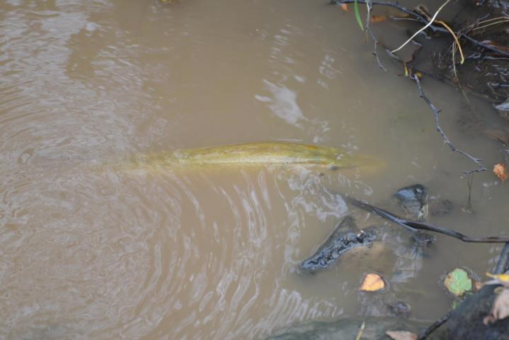 im Zuge von Renaturierungsarbeiten des Rodebachs/Roode Beeks wurden 3 dieser (immens großen) Fische beobachtet