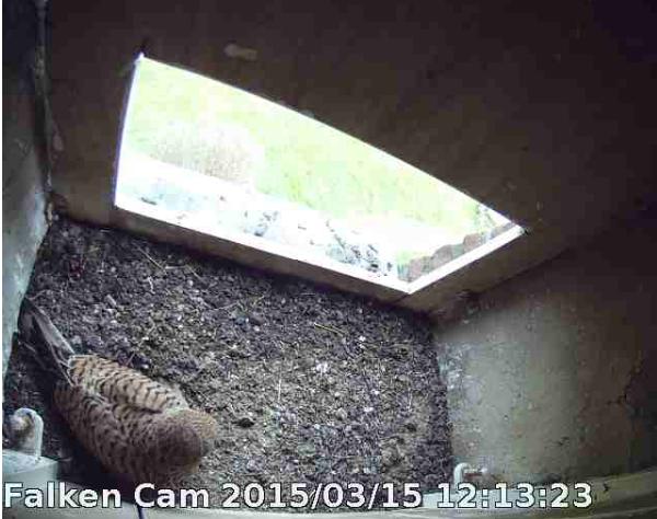 ... uns Tufa-Weibchen sind seh fleißig, immerhin mittlerweile 7 (Oster-) Eier!