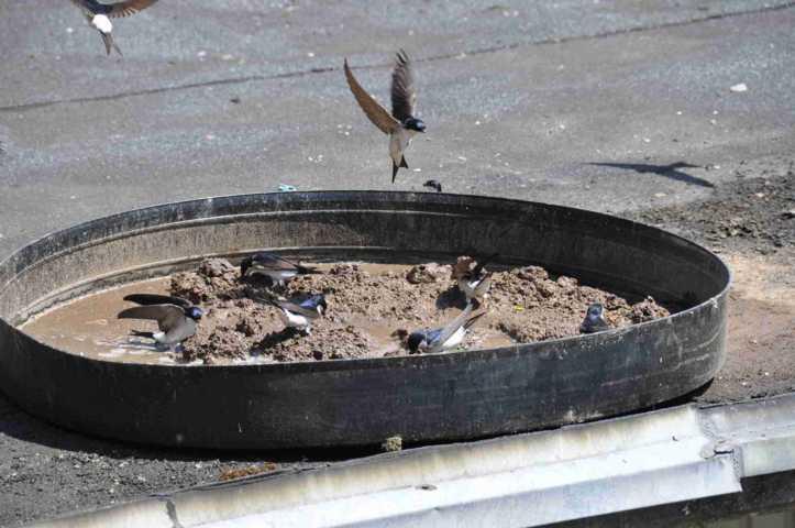 feuchter, nasser Lehm - Voraussettzung für den Bau der Schwalbennester
