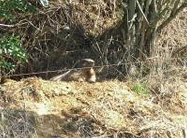 unglaublich , vielleicht gibt der nahe Wildpark ja eine Lösung: Murmeltier kurz hinter der Grenze in der feldlage Jabeek-Schinveld) (Foto WiQua)