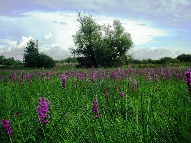 was für die Provence der Lavendel ist, hier Blutweiderich