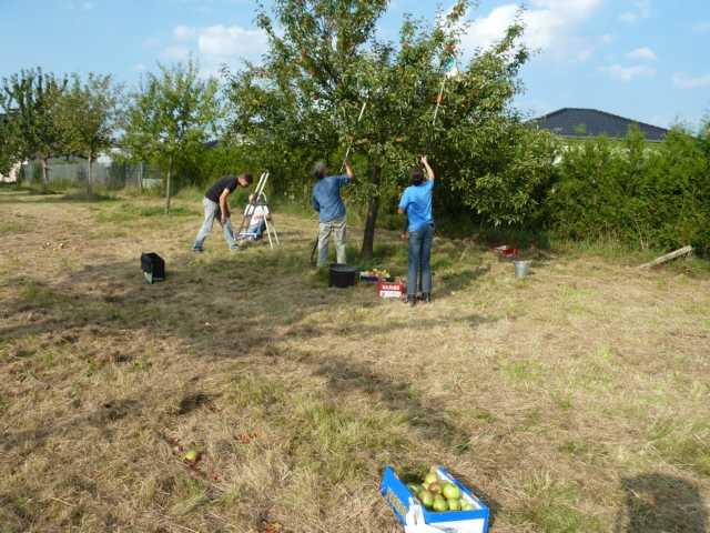 an 2 Terminen haben insgesamt 9 Pflücker Äpfel verschiedener Sorten gepfückt