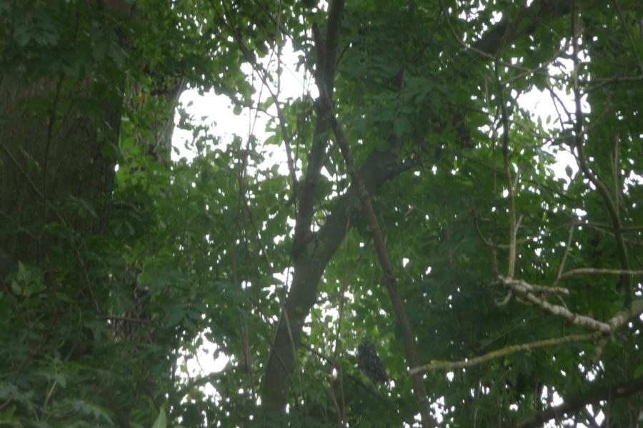 Kauz auf Baum
