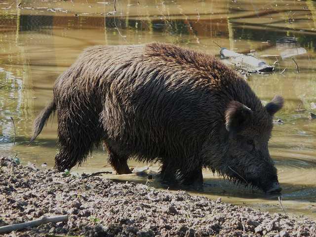 eigentlich von vielen Experten (Jägern, Faunakundigen ...) seit langem erwartet, weil ebeb das Habitat stimmt