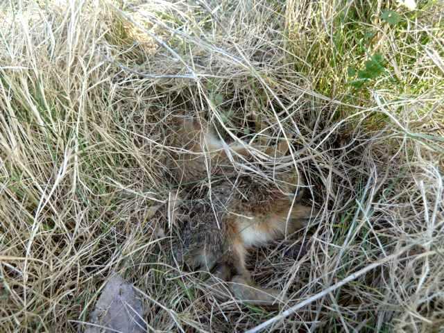 die wohl größte Überraschung: 4 Junghasen im Gras versteckt!