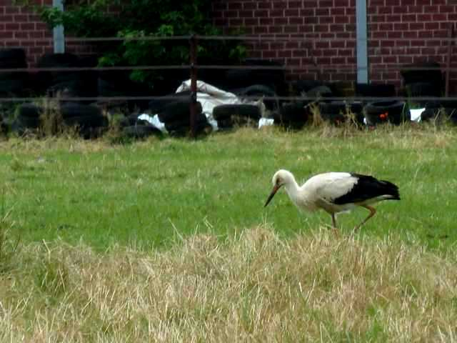 Storch 1
