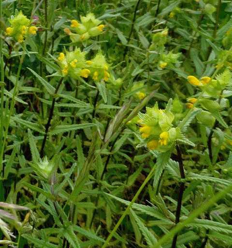 oder diese halbparasitären Blumen