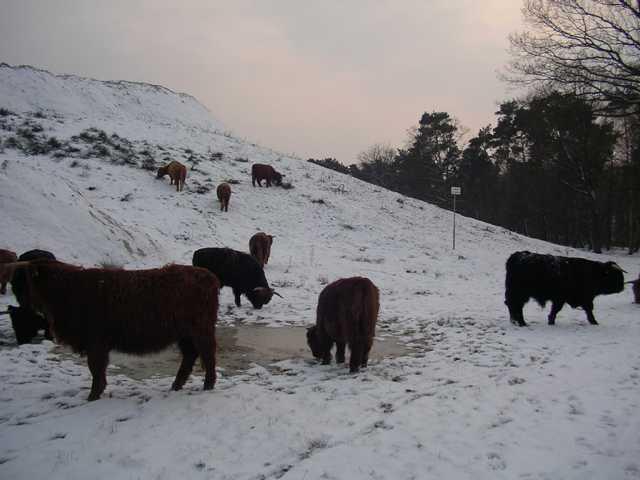 hier Hochlandrinder bei ihrem Winterausflug (als es noch Schnee gab)