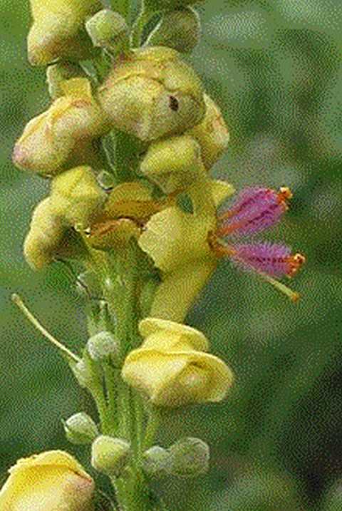 K640_Schwarze Koenigskerze Blume