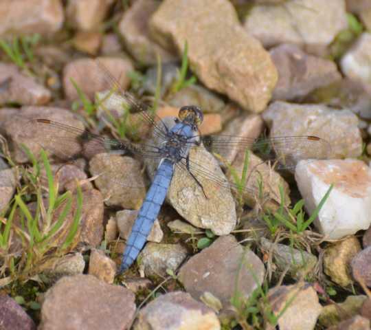 ... eine relativ kseltene Libelle - Vorkommen meist Gräben, Wioesenbäche, Kanäle oder an Ufern nicht zu stark bewachsener Tümpel