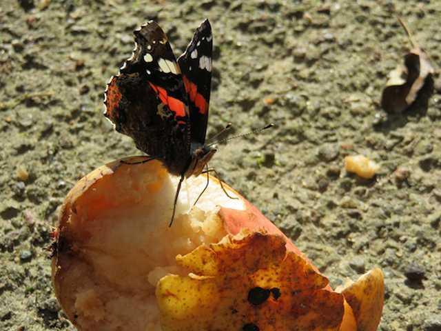 ... bedingt wohl durch blühende Schmetterlinmgsdflieder, Fallobst ...