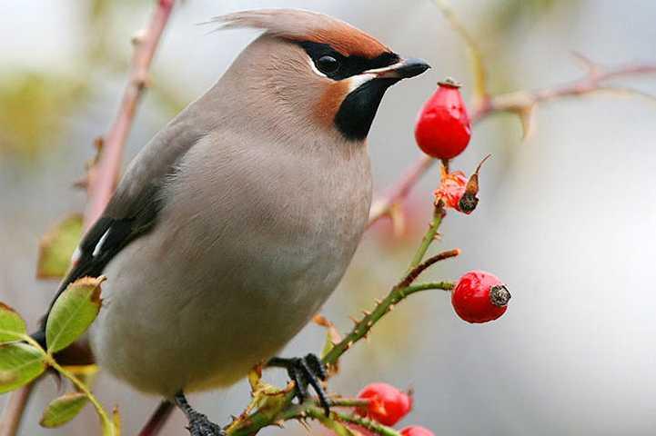 bevorzugt Beeren (Hagebutten z.B.), bevorzugt eißliche Mistelfrüchte, desewegn taucht der S. auch vermehr in Gärten und Patkanlagen des Siedlungsbereiches, weil hier oftmals mewhr Futter findebn als Feld und Flur, Ebereschen auf