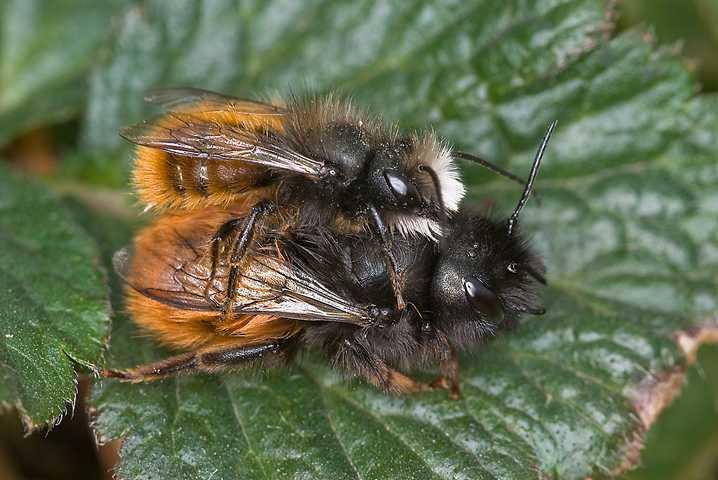 K640_solitär lebende Bienen