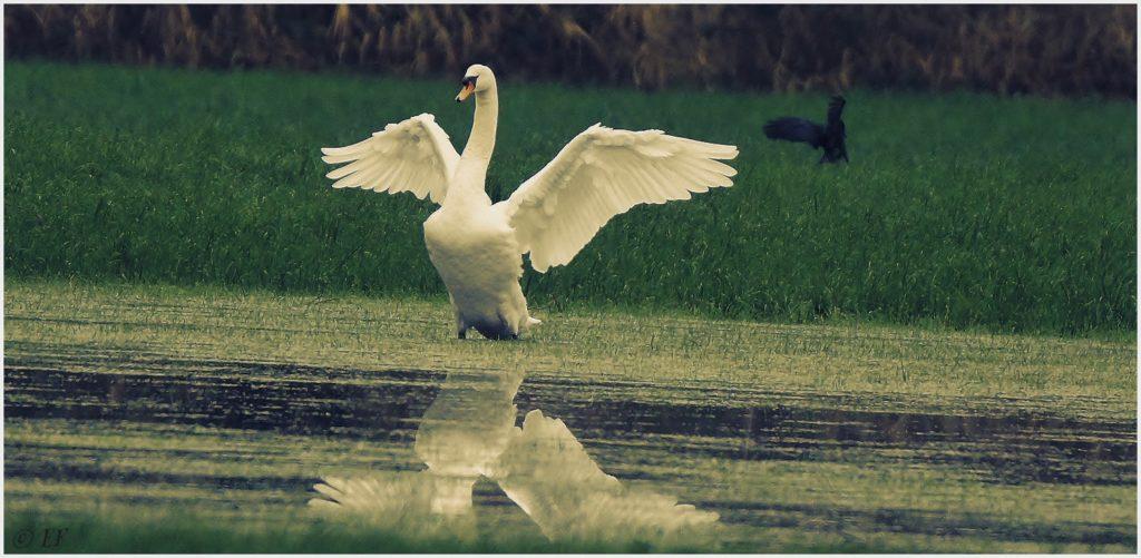 Ein Hoeckerschwan, Fluegel wie Engel