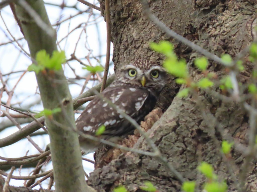 Steinkauz, Fotograf: Wil Quaedeckkers, Ort: Naturpark Rodebach/Rodebeek