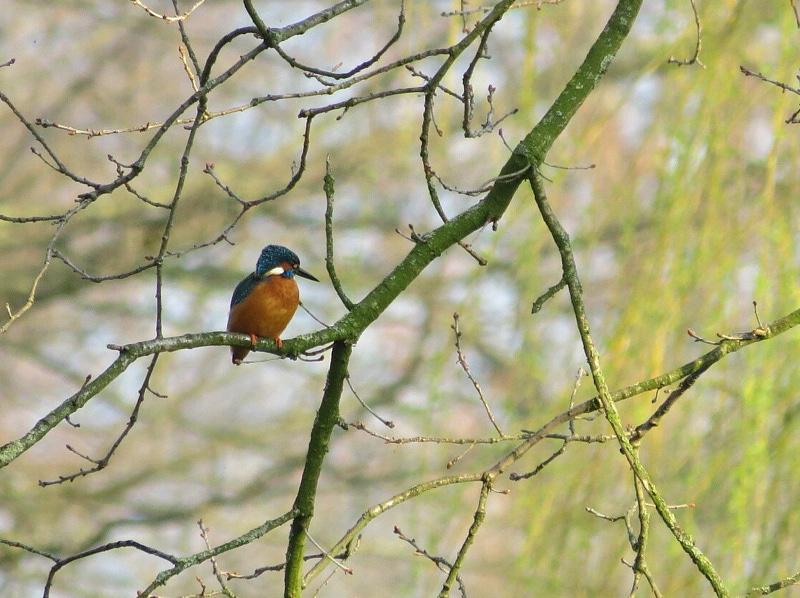 Eisvogel, Fotograf: Peter Hamacher, Ort: Havert