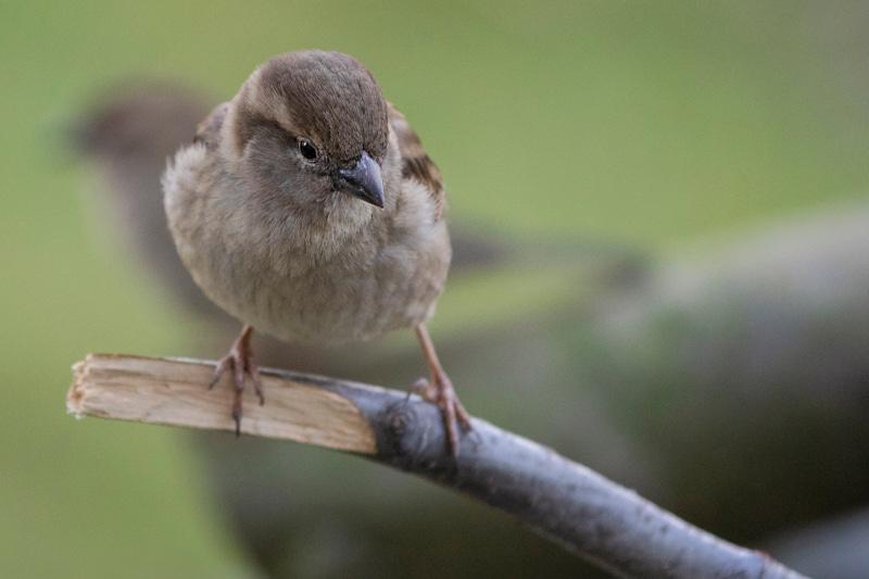 Haussperling Weibchen, Fotograf: Bertha Willms, Ort: Höngen
