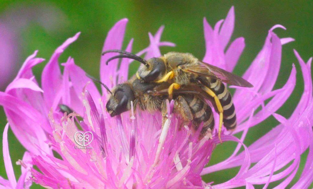 Gelbbindige Furchenbiene auf Wiesenflockenblume