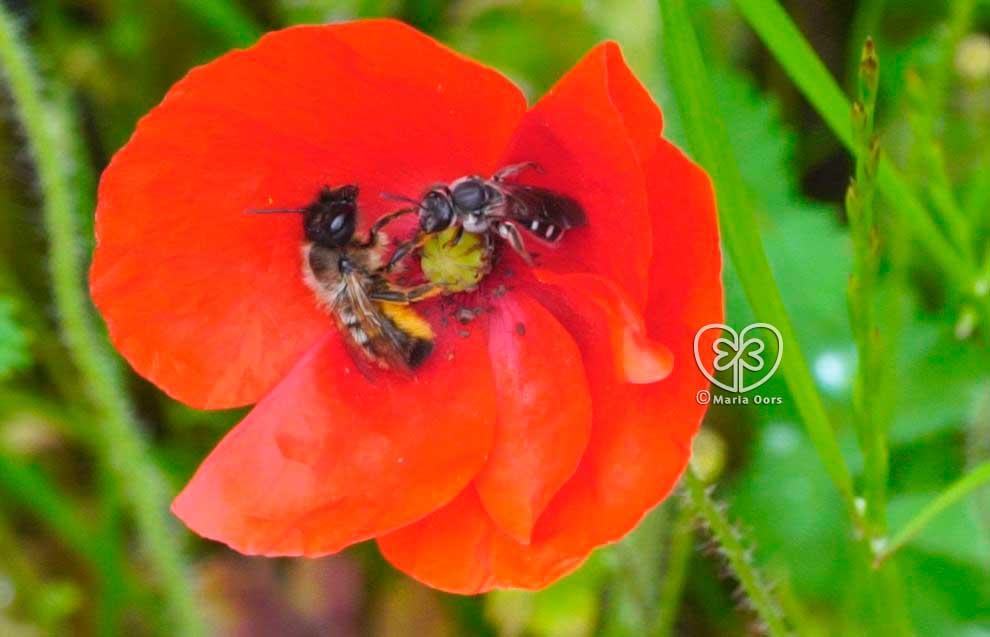 Wildbienen auf Klatschmohn